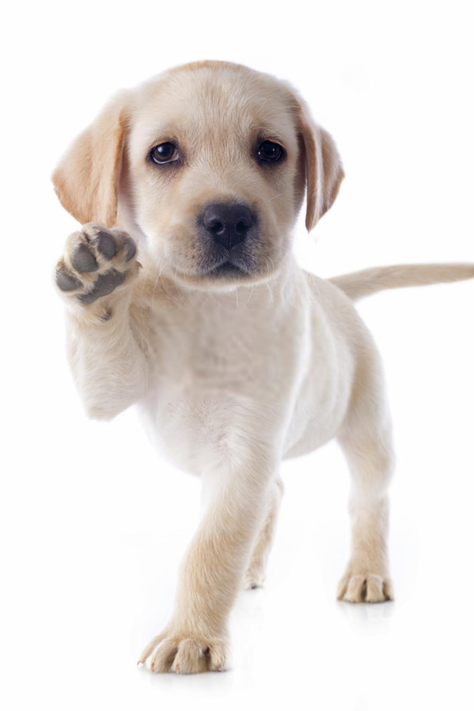 Puppy Labrador Labrador Retriever Puppies Shots In 2020 Labrador Retriever Labrador Retriever Dog Dog Breeds