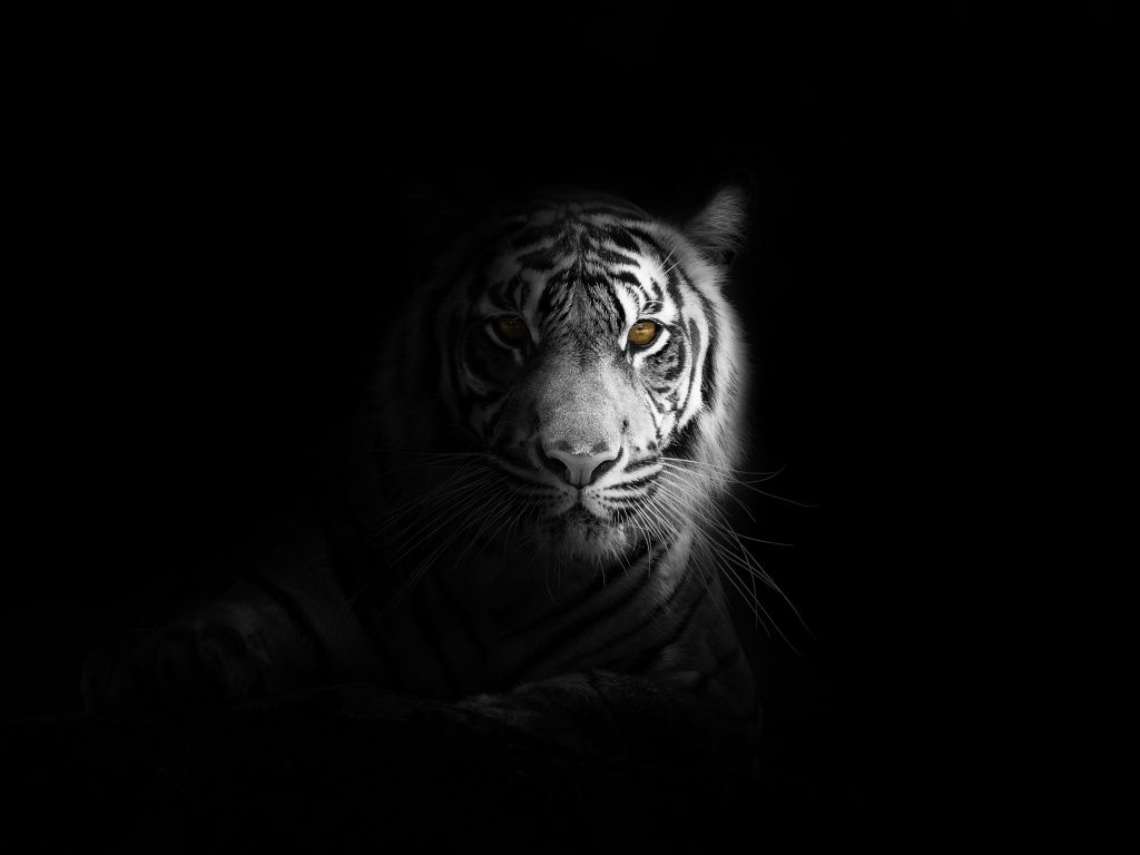 Portrait Minimal White Tiger Dark Wallpaper Dark Wallpaper