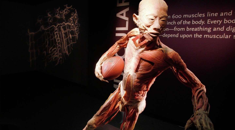 human muscle museum – citybeauty, Muscles