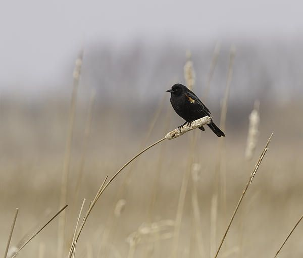 how to attract red winged blackbirds