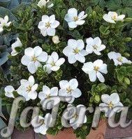 Gardeniya Gardenia Gardeniya Komnatnye Cvety Komnatnye Rasteniya