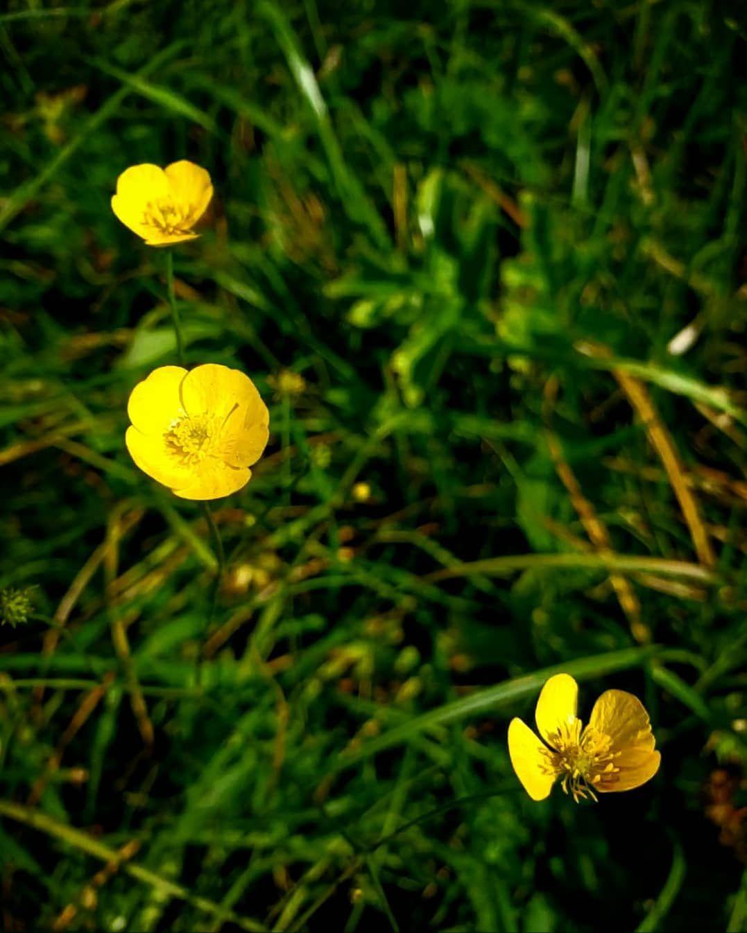 Dacha Time Afternoon Walk On 08 09 20 Ranunculus Acris Westernukraine Sun Ranunc In 2020 Countryside Photography Fields Photography Yellow Flowers