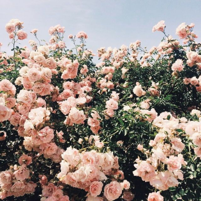 Pink roses and blue sky Flower aesthetic, Pretty plants