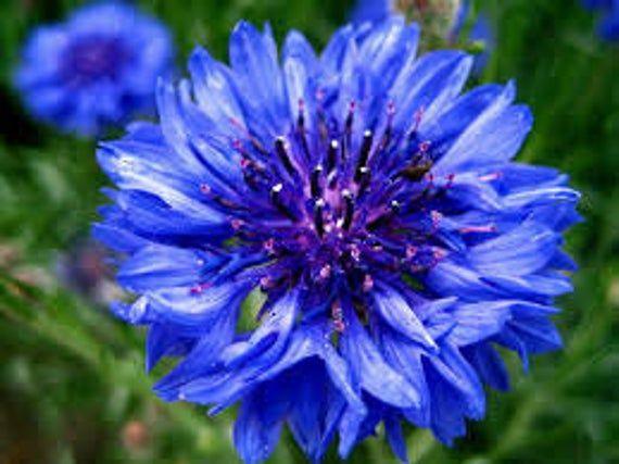 ABB) TRUE BLUE Bachelor Button~Seeds!!!!~~~~~~~~Add That Wow Factor! #blueflowerwallpaper