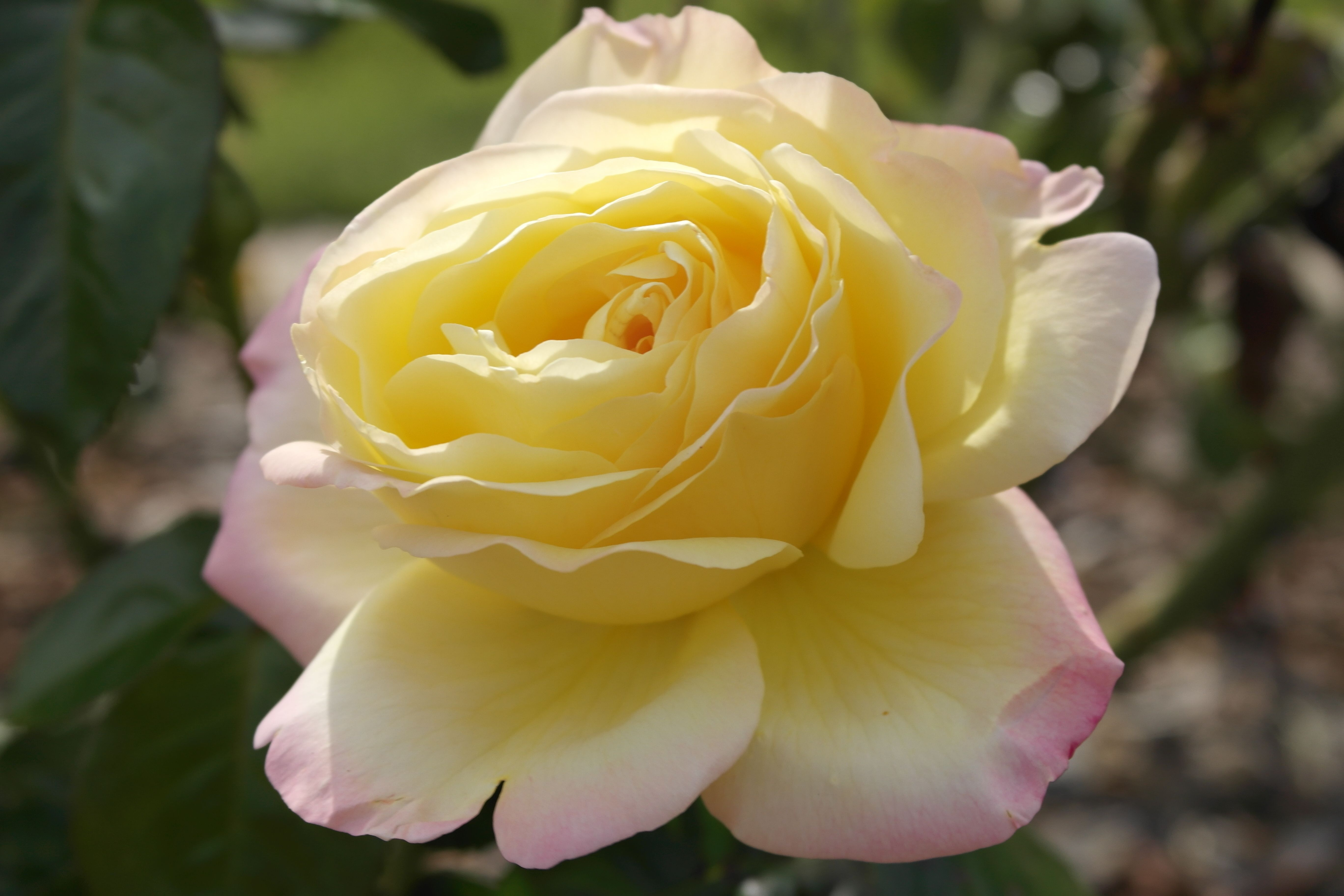 The Gardens, Pink-tipped yellow rose.