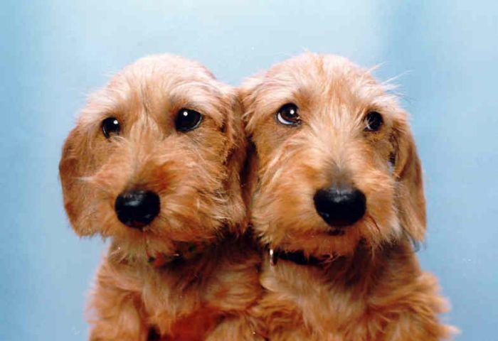 Red Wire Pups Dachshund Puppies Dachshund Lovers