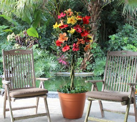 Great A Luscious Confection Of Color, The Tutti Frutti Hibiscus Tree From Cottage  Farms Is A Sweet Addition To Any Patio. All Year Long, This  Tropical Looking ...