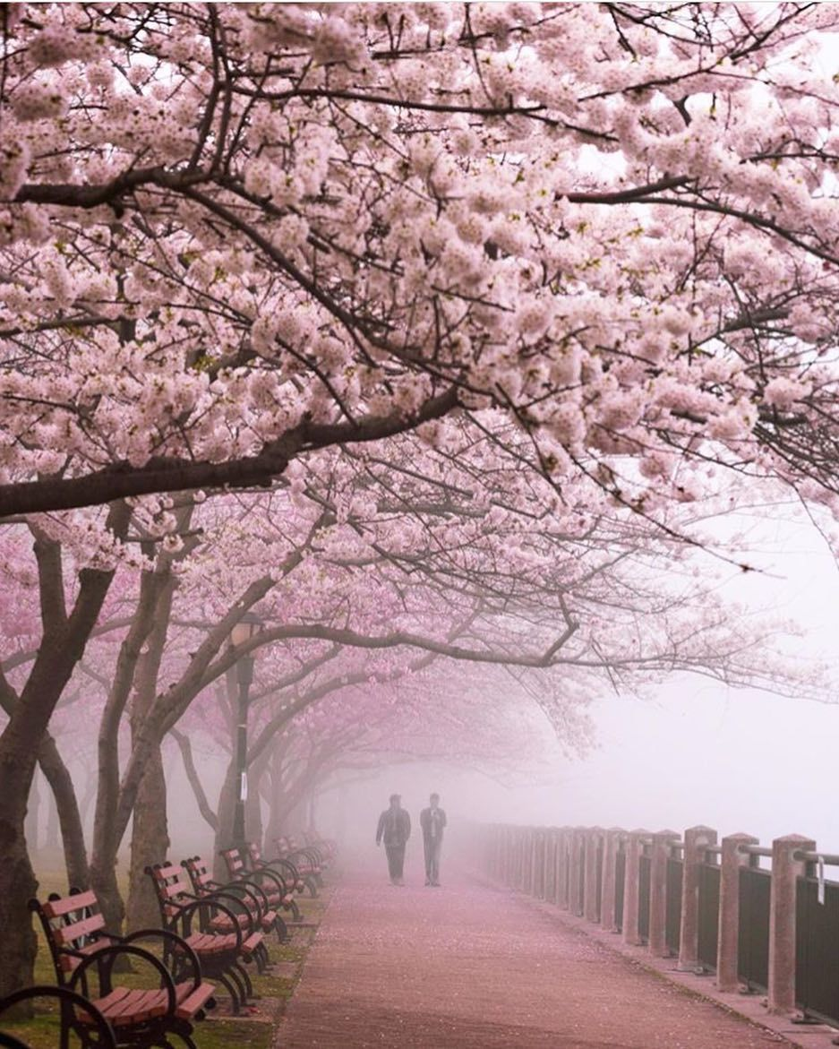 Some Fog Cover The Cherry Blossom Trees On Roosevelt Island Tag Someone You Wish You Was There With B911bphoto