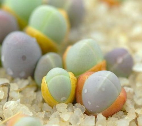"""Gibbaeum-comptonii-exotic-succulent-rare-ice-living-rocks-mesembs-seed-20-SEEDS."""