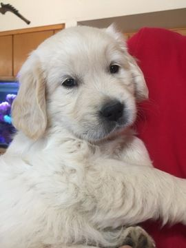 Golden Retriever Puppy For Sale In Scottsdale Az Adn 46590 On