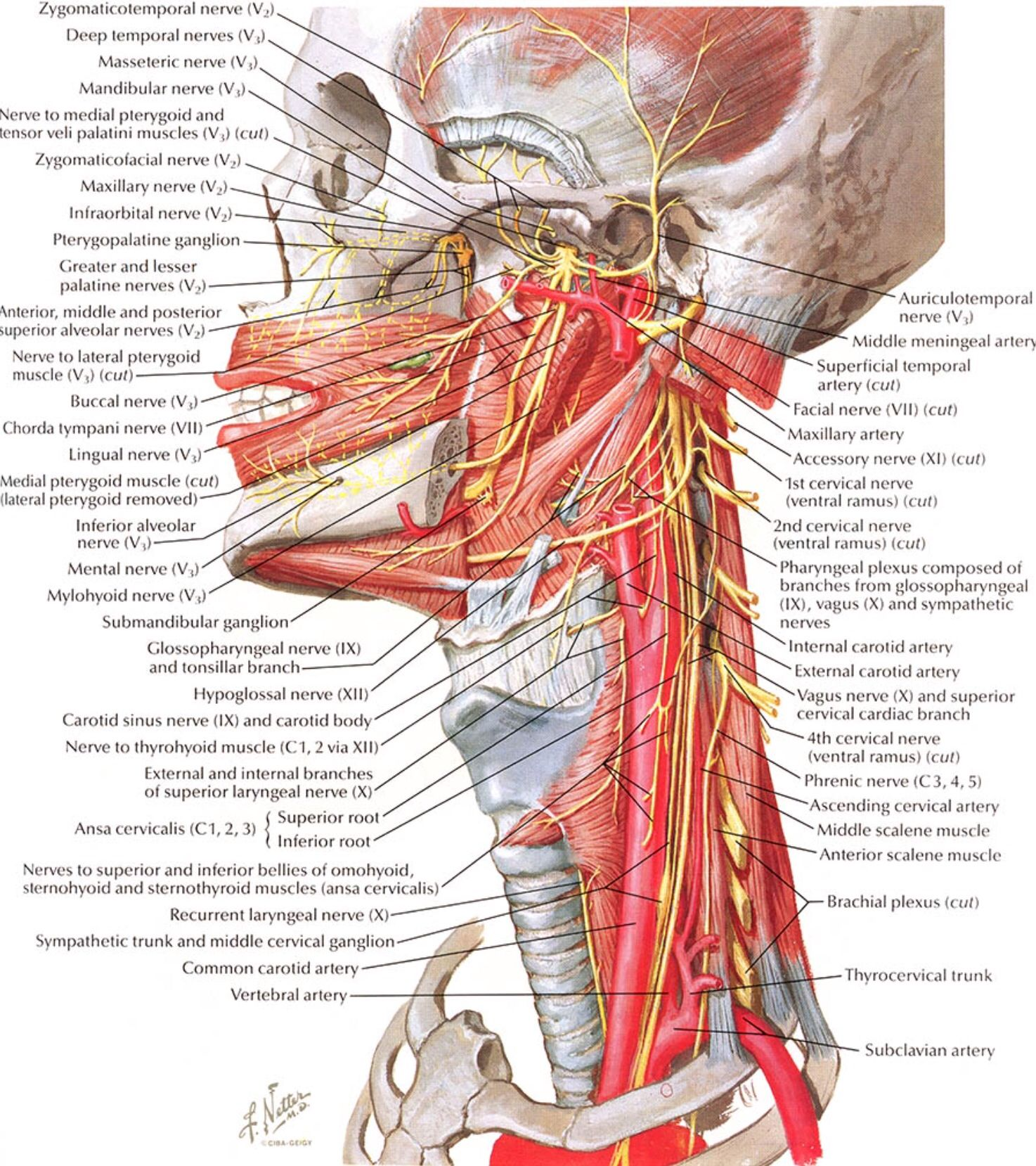 Anatomy of the neck and pharyngeal region - Netter (With ...