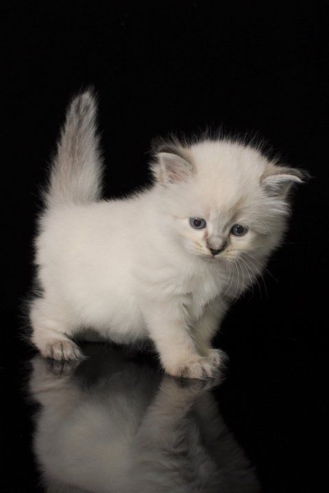 Hypoallergenic Siberian Cats And Siberian Kittens Adorable Anim Siberian Kittens Cute Cats Kittens Cutest