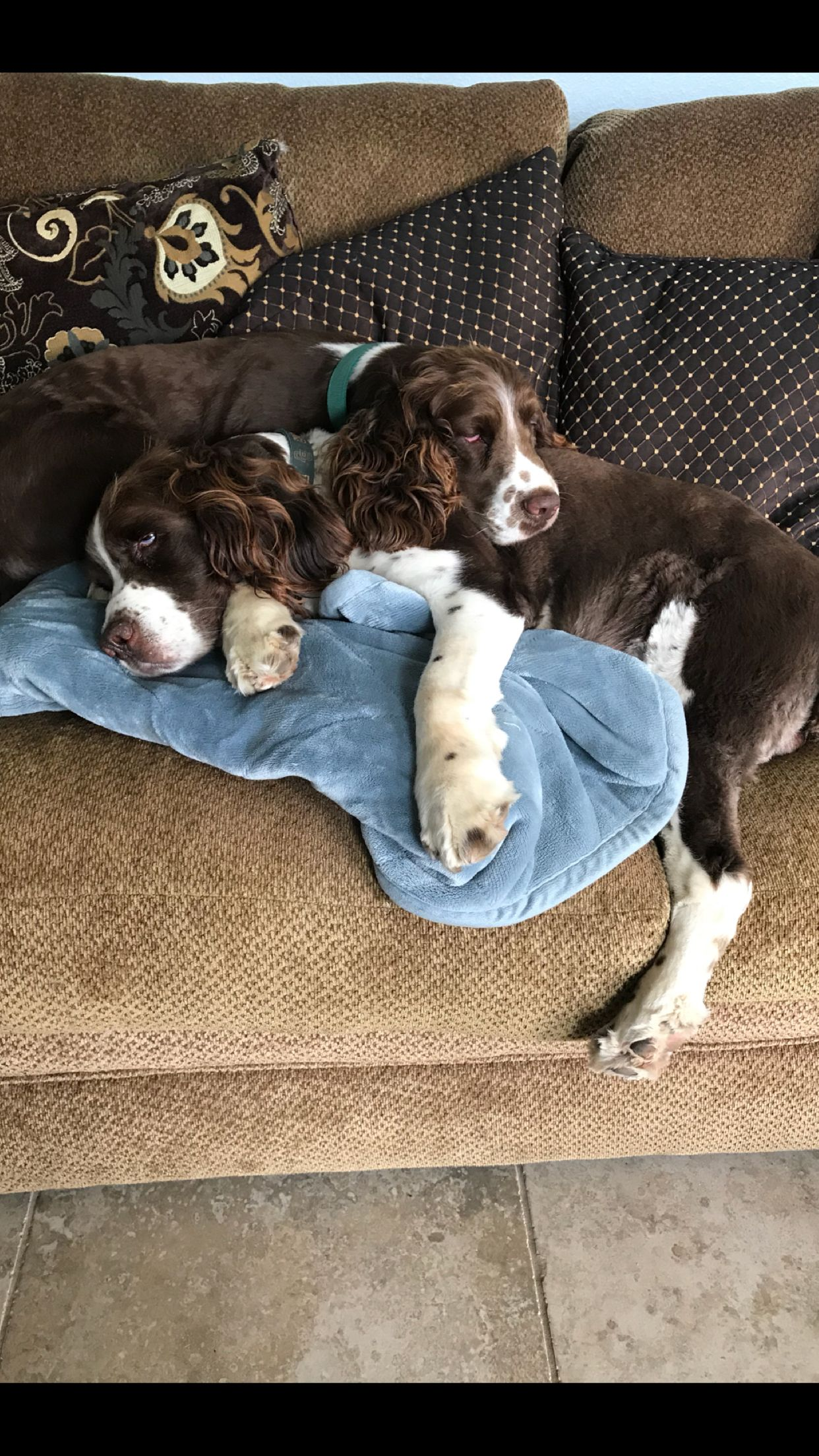 Pin By Jo Guy On Springer Spaniels Baby Dogs Springer Puppies Puppies And Kitties