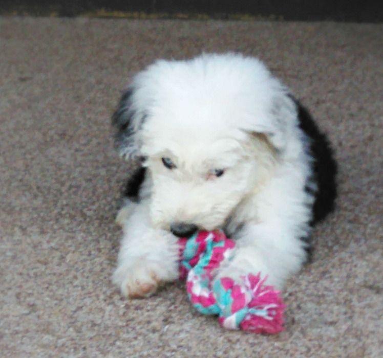 Best Sheepadoodles Sheepadoodles Simons Sheepadoodles Pittsburgh Sheepadoodle Puppy Puppies Pittsburgh