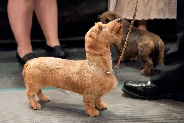 Westminster Kennel Club Dog Show Wire Haired Dachshund Man Dog