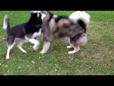 Alaskan Malamute Vs Siberian Husky What S The Difference Dogs