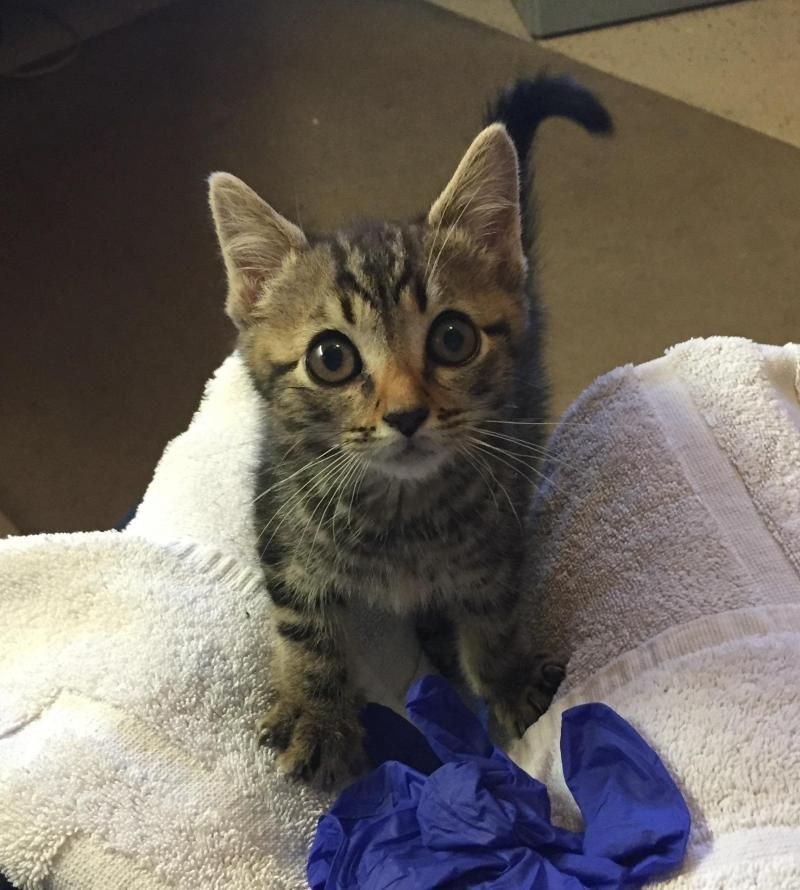 Adopt Percy On Petfinder Tabby Brown Tabby Tabby Cat
