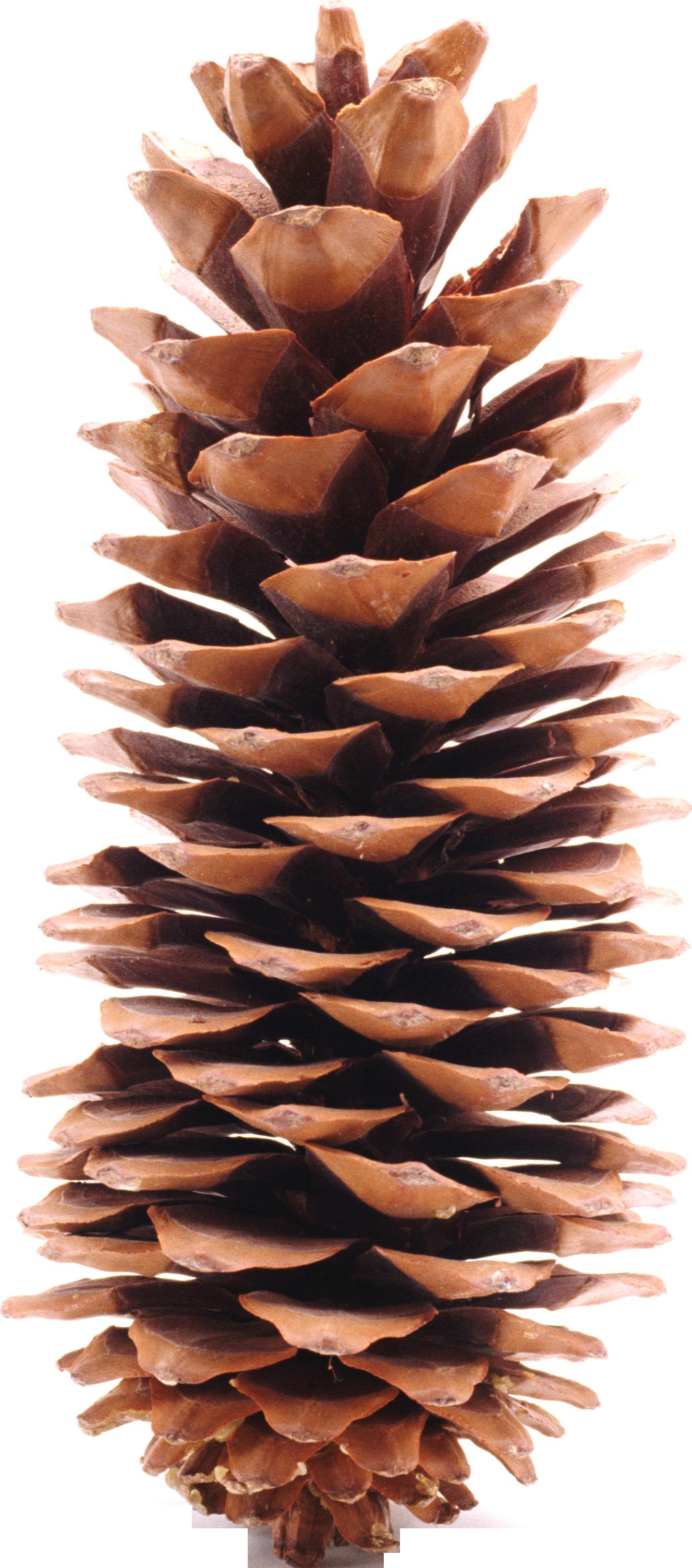 Pine Cone Png Image Pine Cones Cone Conifers