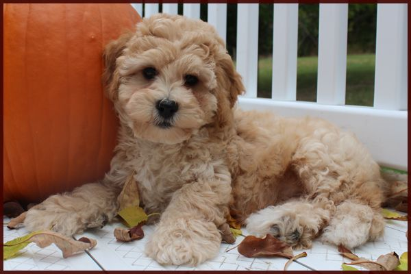 mature Poochon(Bich Poo) Just for me Pinterest Dog