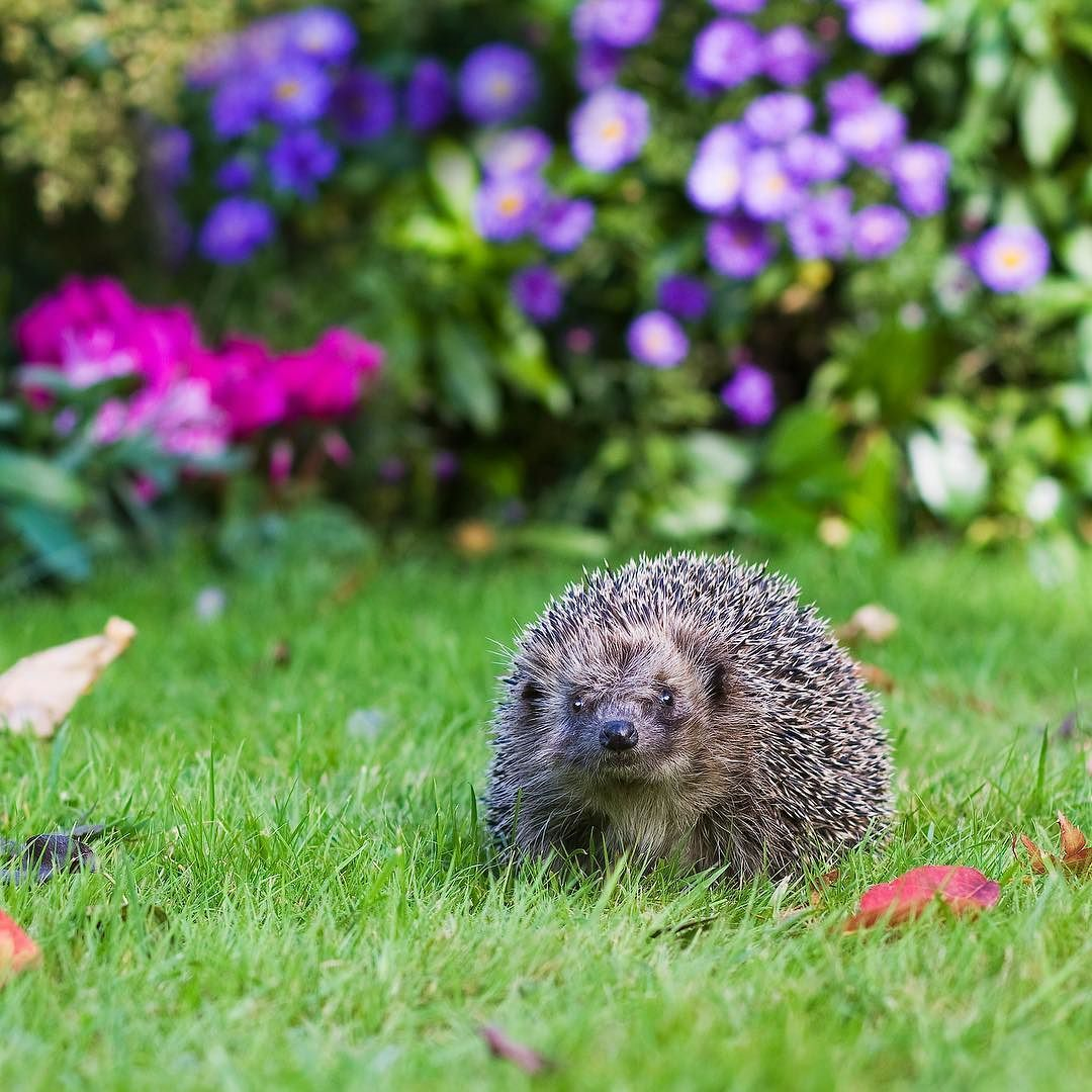 There Are Lots Of Ways To Help Hedgehogs In The Garden Including