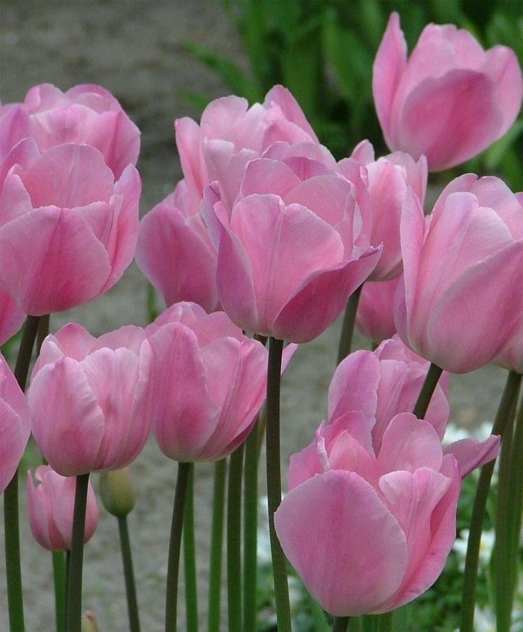 Triumph Tulip Rosalie A Ravishing Sport Of Don Quichotte Rosalie Is A Deicate Pale Phlox Pink Enchantress With Bulb Flowers Beautiful Flowers Tulips Flowers