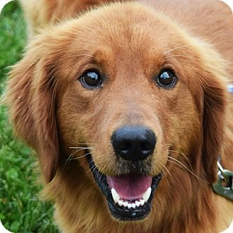 Huntley Il Golden Retriever Irish Setter Mix Meet Duke A Dog