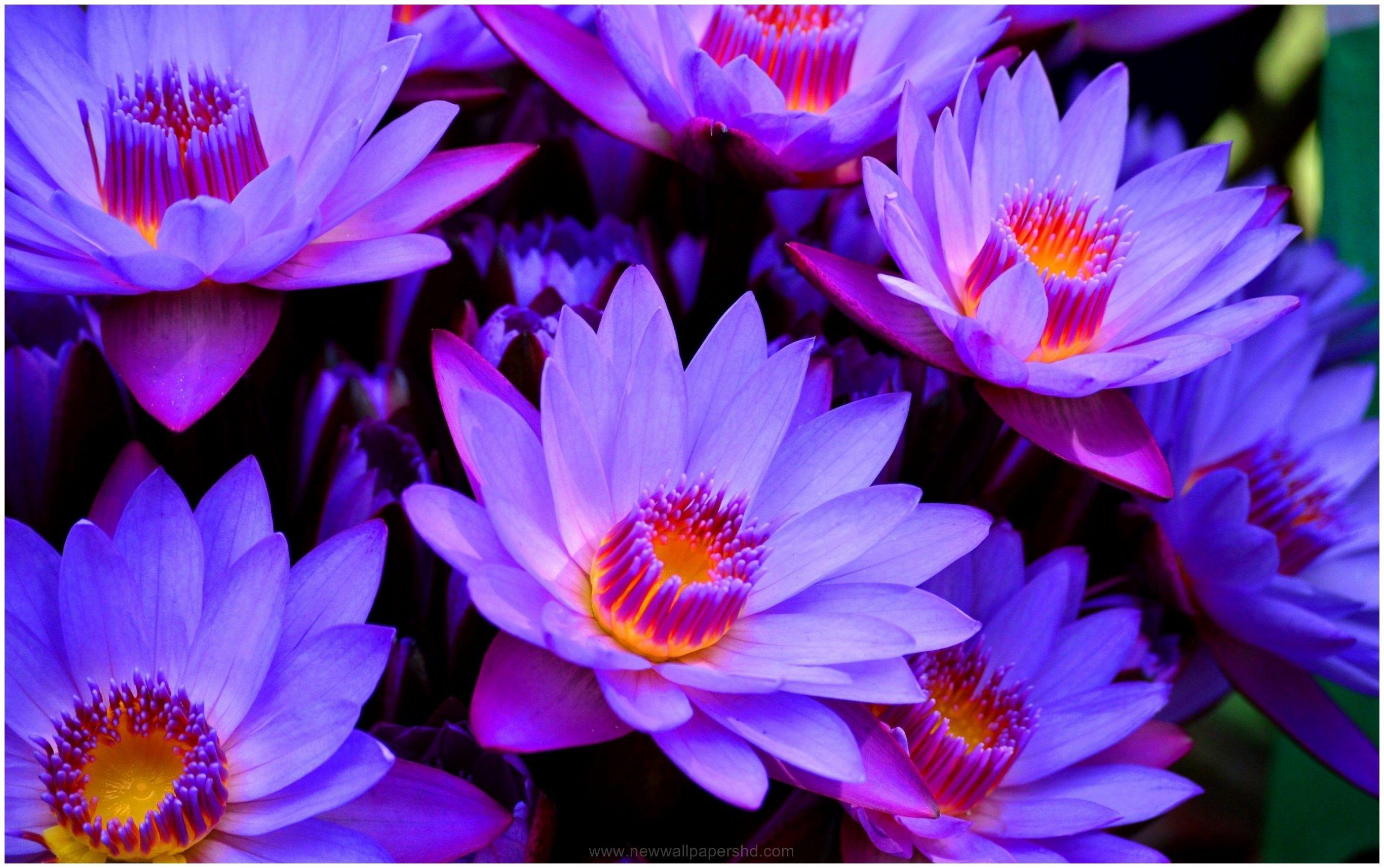 BLUE LOTUS FLOWER HD WALLPAPER Wallpapers Pinterest