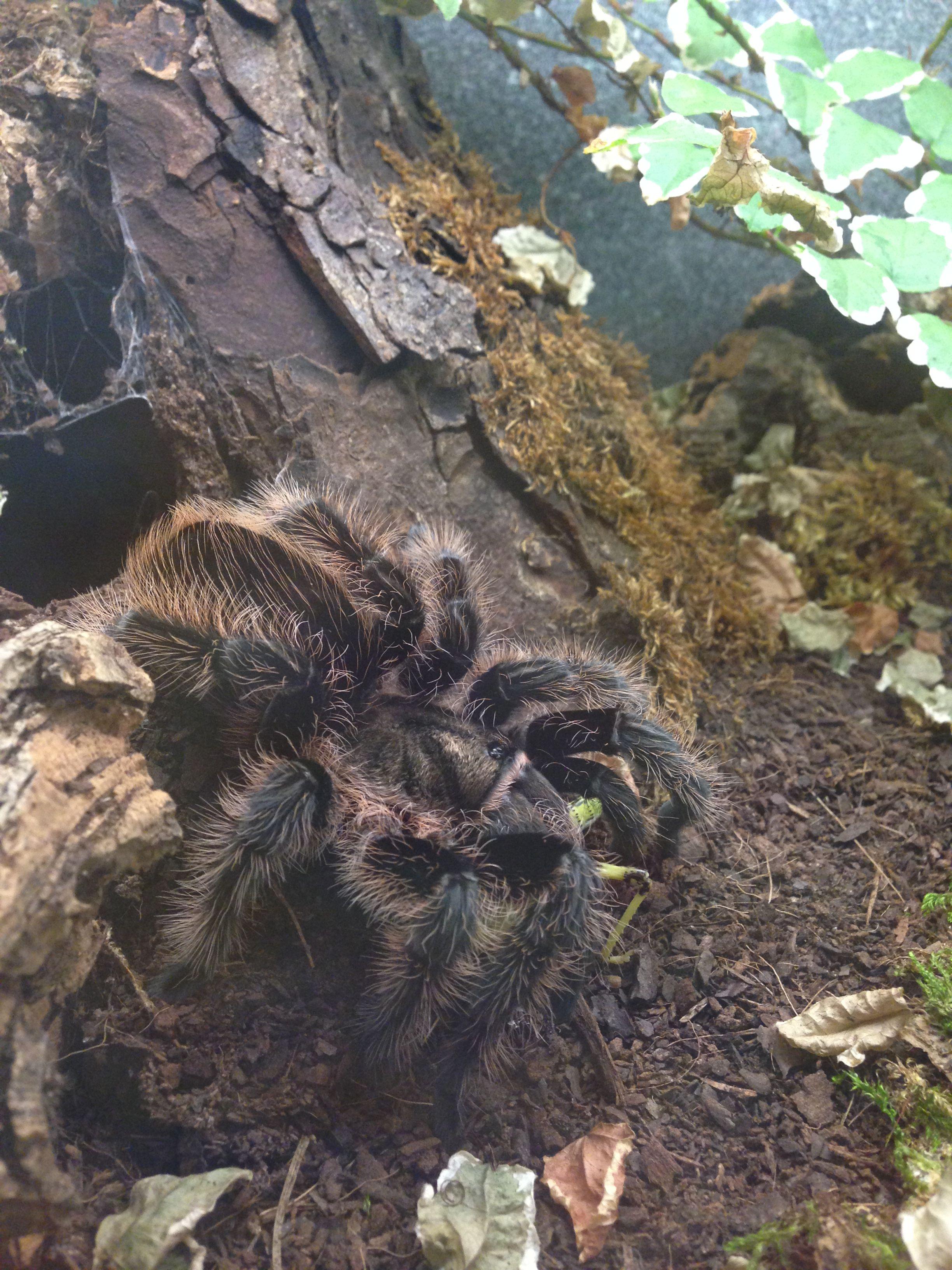 Brachypelma Albopilosum Vogelspinnen Spinne Tiere