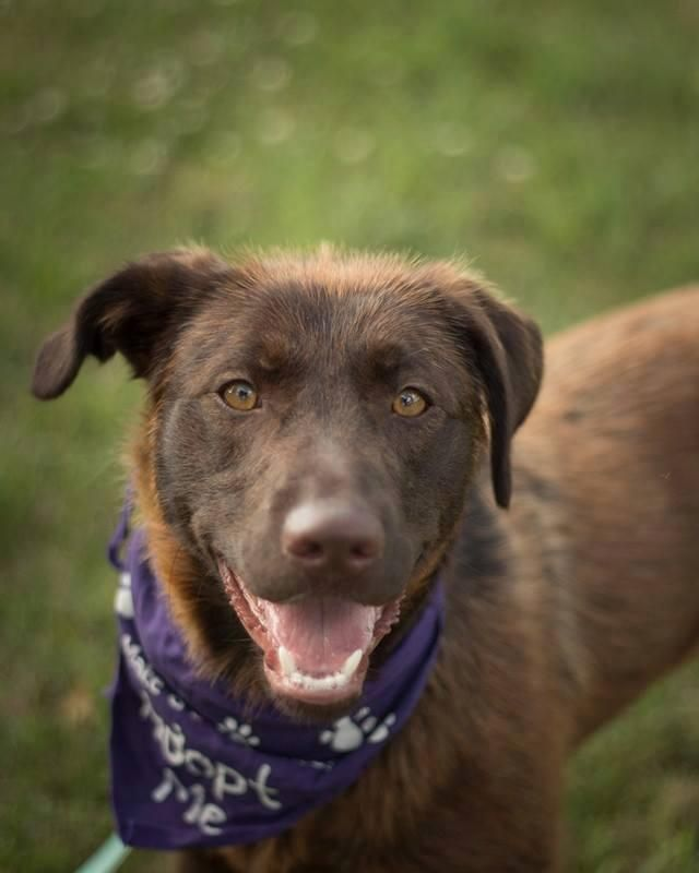 Adopt Me Peggy From Paws United Dog Rescue In London Ontario Canada Rescue Dogs Dogs Labrador Retriever