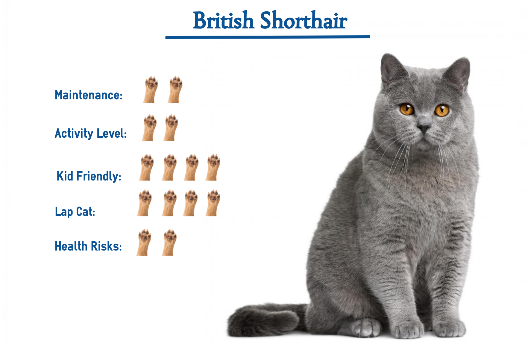 British Shorthair Cat Breed Everything You Need To Know At Glance British Shorthair Cats British Shorthair British Blue Cat