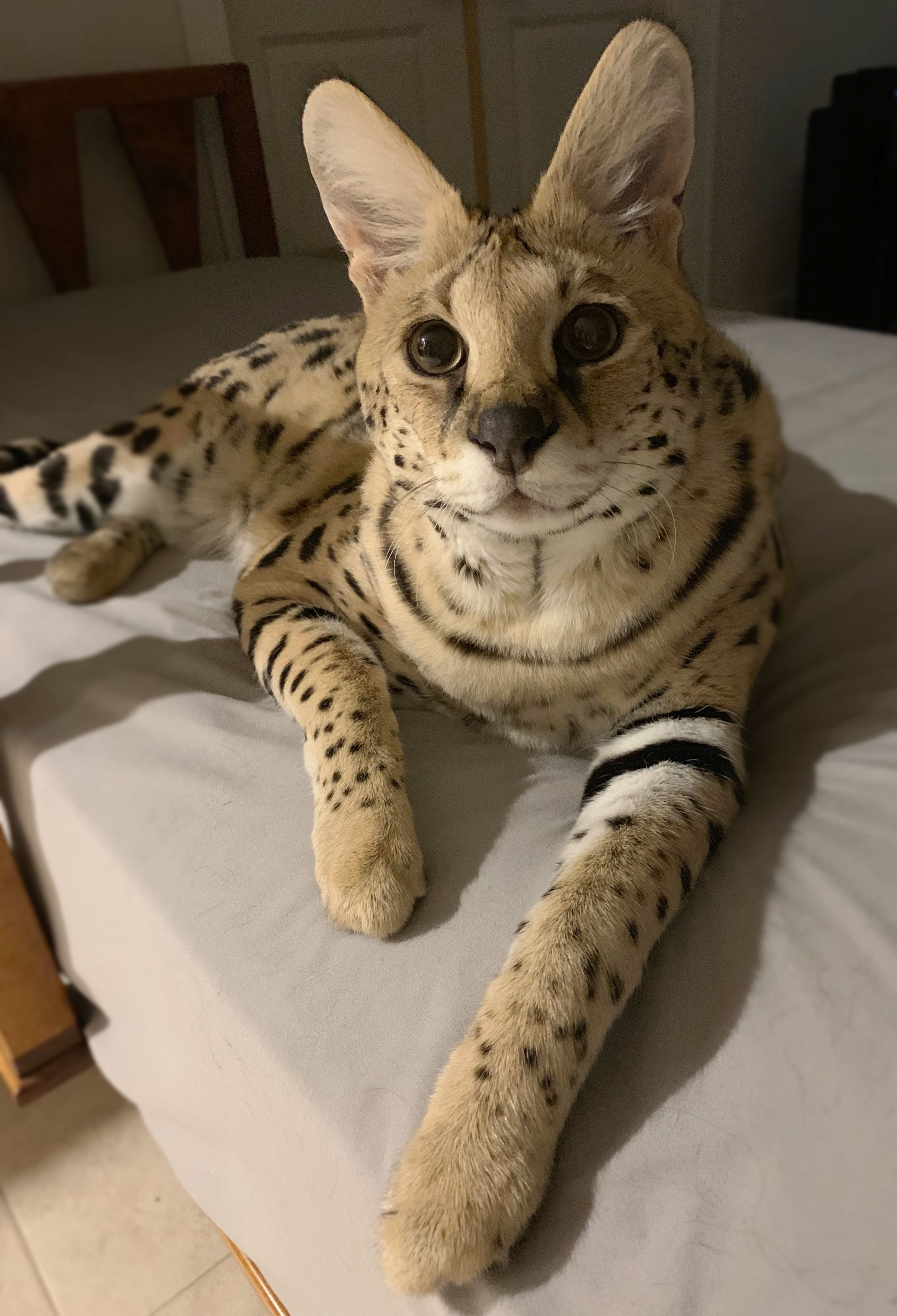 Pin by Shannon DePender on Kitty (With images) Serval