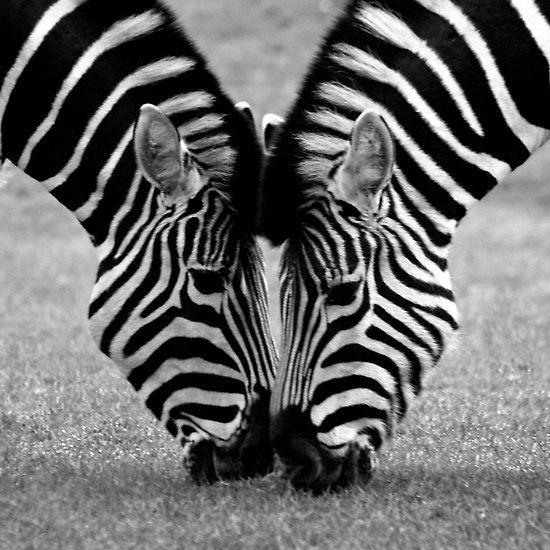 Black and white love by mark thompson zebras