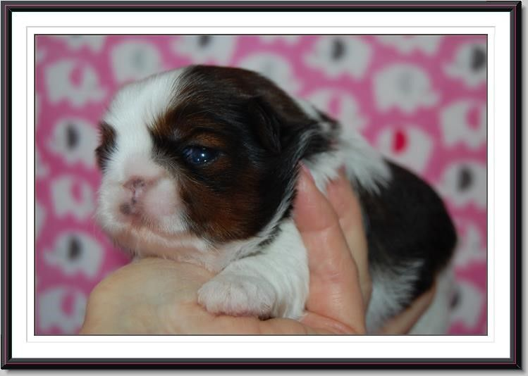Shih Tzu Puppies For Sale California Shih Tzu Garden In 2020 Shih Tzu Puppy Puppies For Sale Shih Tzu Dog