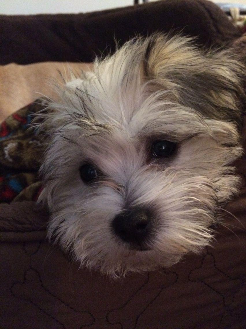 Havanese puppy | Havanese puppies, Havanese, I love dogs