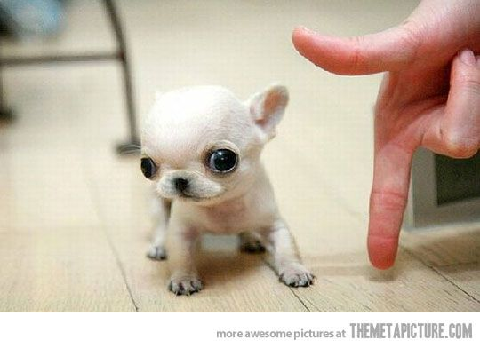Pocket Size Chihuahua Chihuahua Puppies Cute Animals Funny Animals