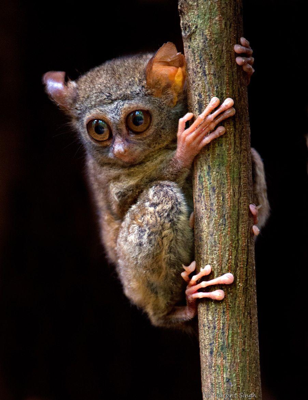 smallest primate