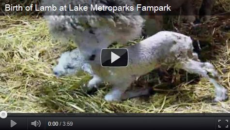 Watch a video of the birth of a lamb at Lake Metroparks Farmpark!