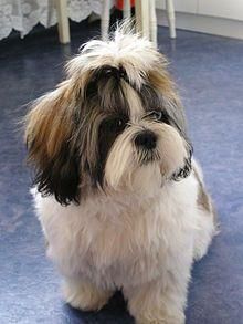 Shih Tzu Wikipedia The Free Encyclopedia Shitzu Dogs