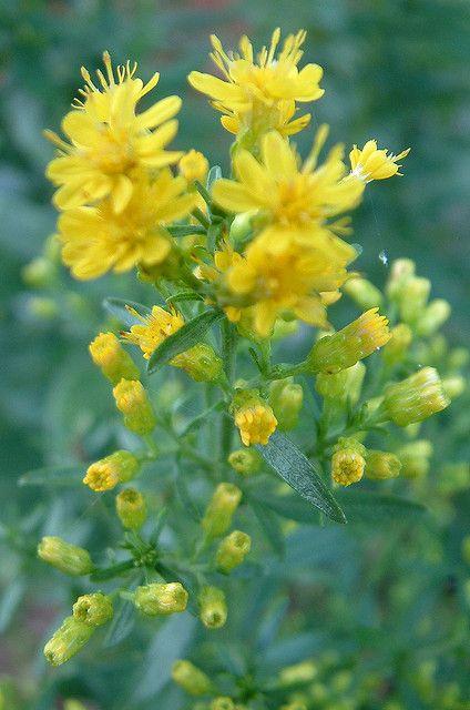 Stiff Goldenrod Solidago Rigida Plants Garden Nature