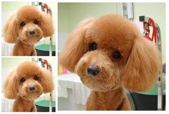 toy poodle teddy bear cut . omg