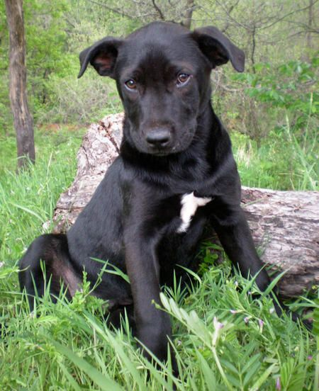 This Lab Shepherd Mix Looks Just Like