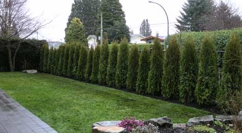 Ok neighbors gardening pinterest for Backyard privacy landscaping trees