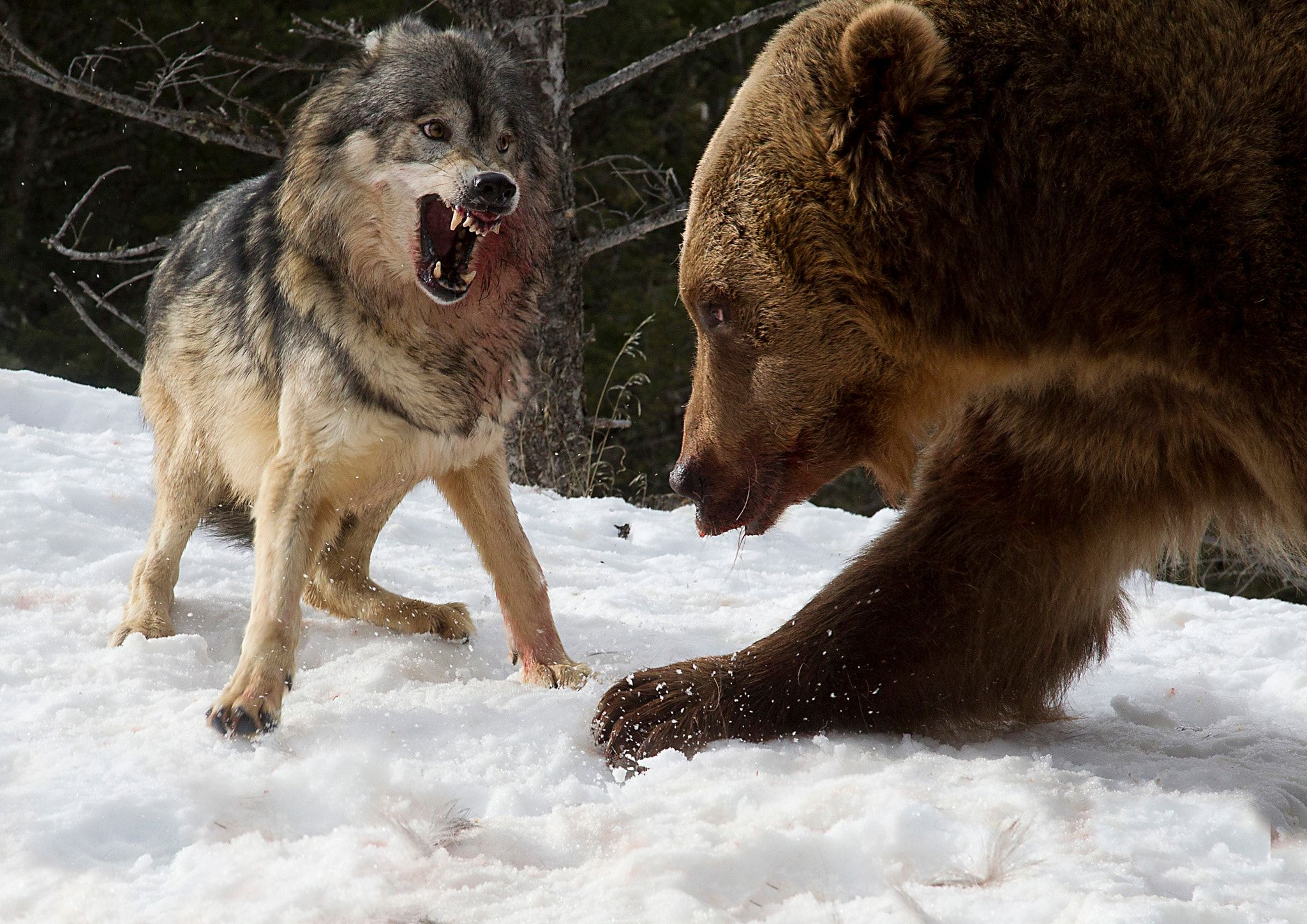 Grizzly and brave Wolf