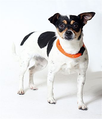 Columbus, OH Chihuahua. Meet Buttercup a Dog for