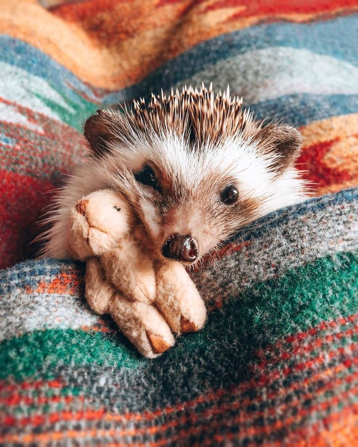 65 Pics Of Adorable Herbee The Hedgehog To Brighten Up Your Day