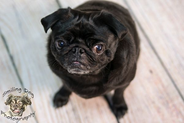Black Pug On Rolled Wooden Floor Dog Photography Smiling Dogs Pugs