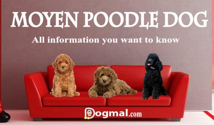 Moyen Poodle Moyen Poodle Poodle Pet Remembrance
