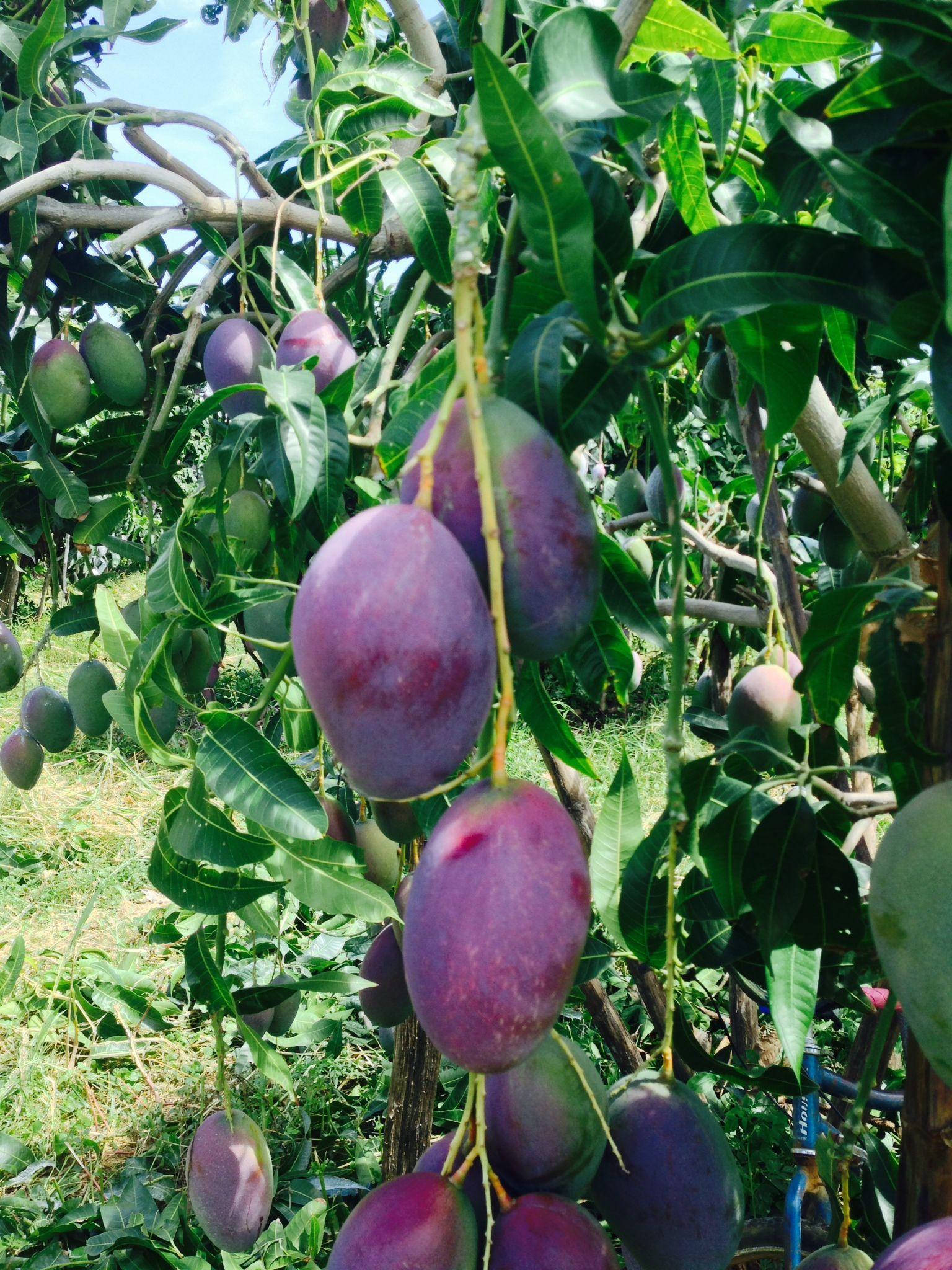 mango fruit island fruit