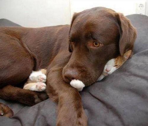Togetherness, lab, cat, sweet