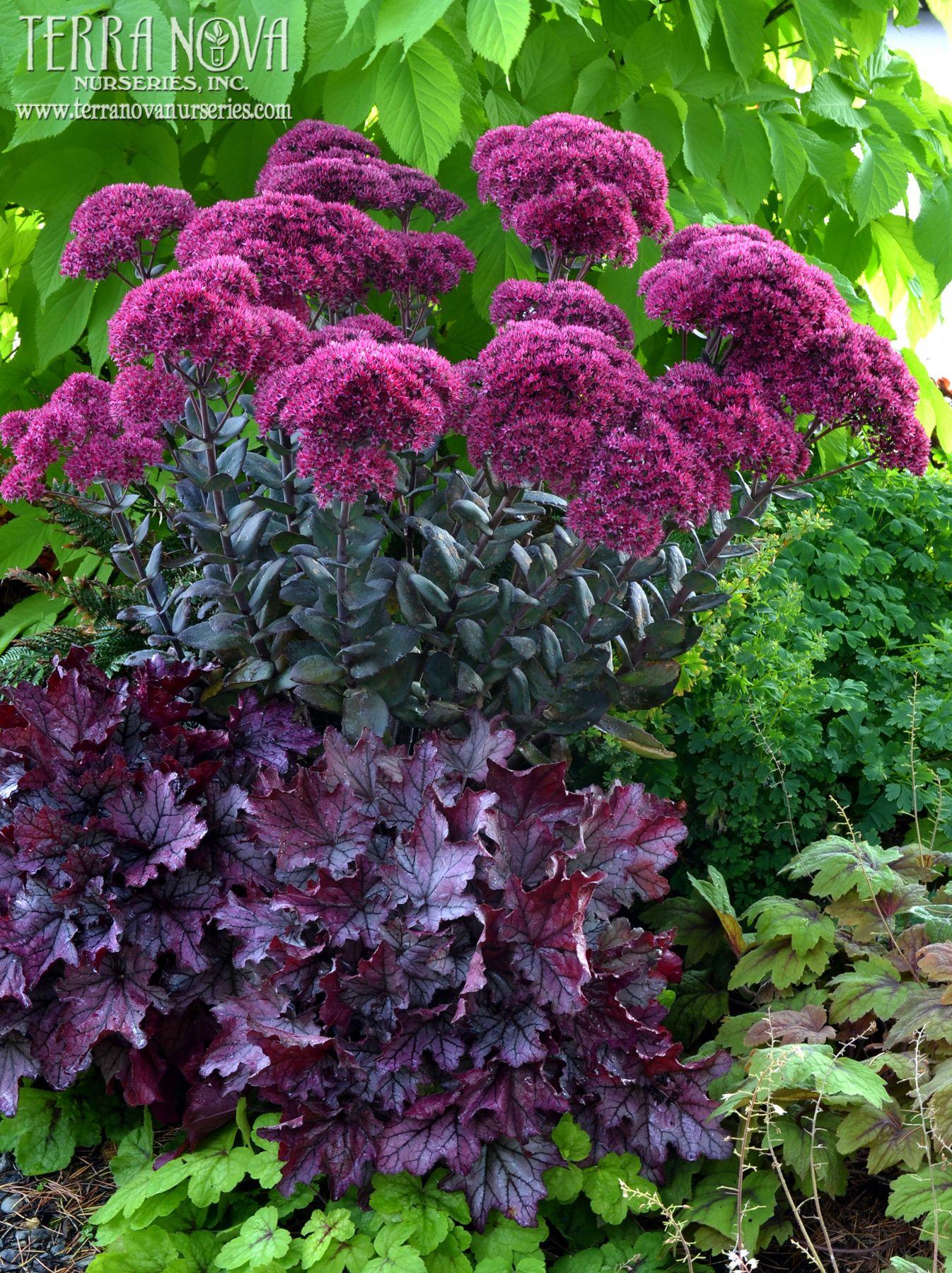 sedum 39 thunderhead 39 and heuchera garten pinterest pflanzen gartenblumen und zimmerpflanzen. Black Bedroom Furniture Sets. Home Design Ideas